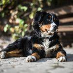 Comment faire le dressage du chien le bouvier bernois