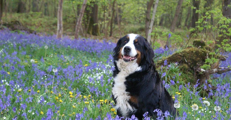 Le Bouvier Bernois est-il un bon chien de chasse ?