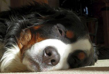 bouvier bernois qui dort